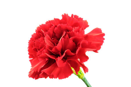 Beautiful blooming red carnation flower isolated on white background Zdjęcie Seryjne