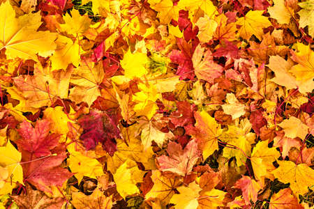 Beautiful golden, red and orange colored maple leaves background Banco de Imagens
