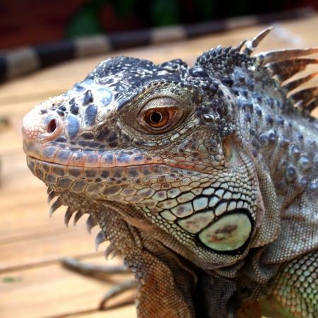 reptillian: Closeup portrait of iguana  malaysia