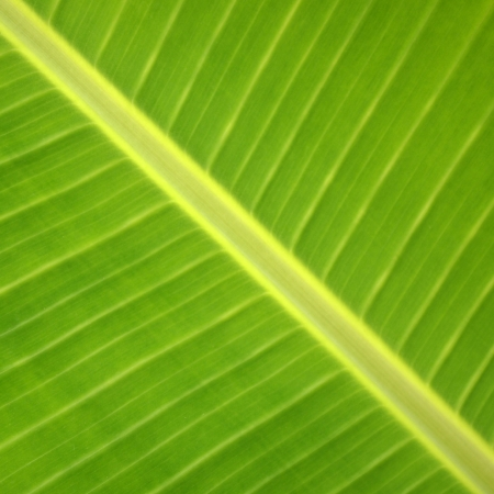 Tropical Green Leaf, Perak malaysia photo