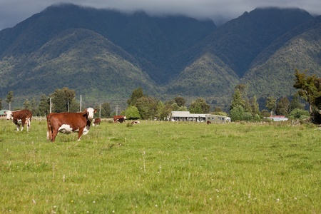 Grazing cows, rural landscape, Fox Glacier, West Coast, South Island, New Zealand photo