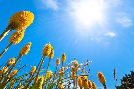 Beautiful yellow Lupin flowers and sunny blue sky. photo