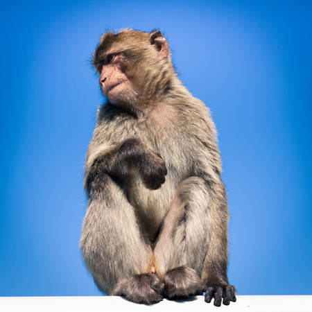 Barbary Macaque in Gibraltar, over blue sky. photo