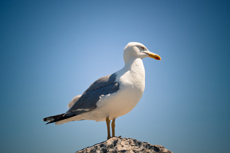 gulls: Photo of seagull resting on rock, over blue sky.