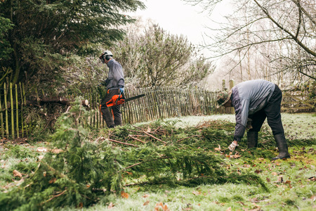 forestry industry: Professional gardeners pruning trees. Stock Photo