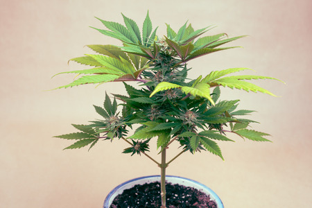 Cannabis female plant in flowerpot, Indica dominant hybrid in flowering phase. photo