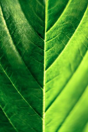 Macro of green Cannabis leaf. photo