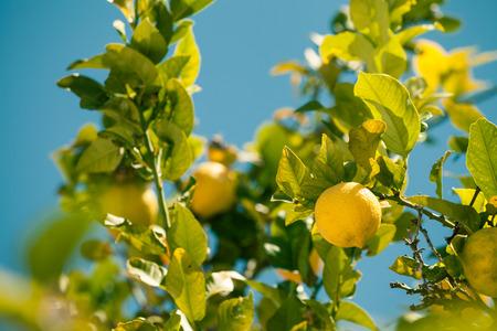 lemon tree: Primer plano de �rbol de lim�n sobre el cielo azul en Espa�a