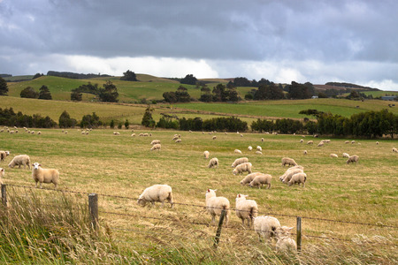 Flock of sheep and meadow in New Zealand  photo