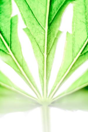 cannabinoid: Macro of green Cannabis leaf