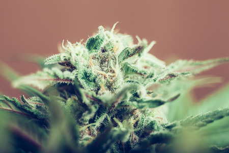 Closeup of Cannabis female plant in flowering phase  Stockfoto