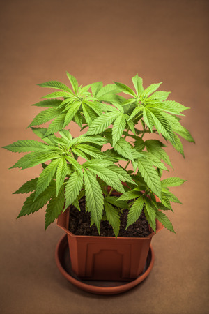 cannabinoid: Cannabis female plant in flowerpot, Indica dominant hybrid in vegetative stage. Stock Photo