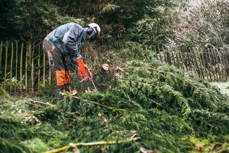 tree cutting: Professional gardener cutting tree with chainsaw.