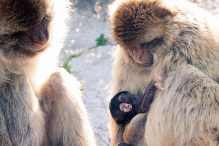 barbary: Barbary Macaques in Gibraltar. Stock Photo