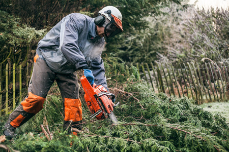 felling: Professional gardener cutting tree with chainsaw.