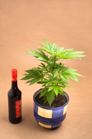 cannabinoid: Cannabis plant in flowerpot and bottle of alcohol.