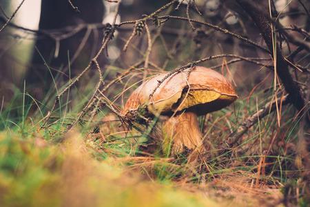 Beautiful wild mushroom hidden in coniferous forest. photo