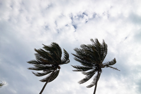 strong wind: Coconut palm trees bending in a strong wind.