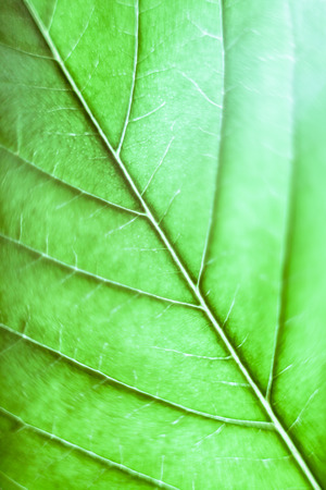 cannabinoid: Macro of green Cannabis leaf.