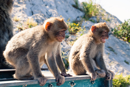 sylvanus: Barbary Macaques in Gibraltar. Stock Photo