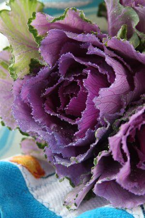 Purple kale flower.