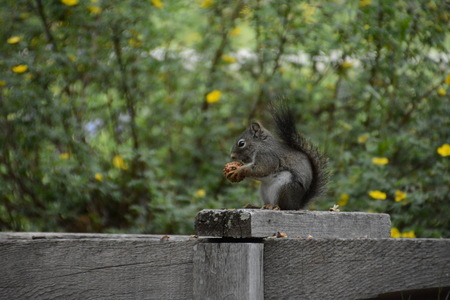 squirrel on fence with pinecone Imagens