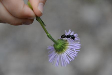 ant on purple flower