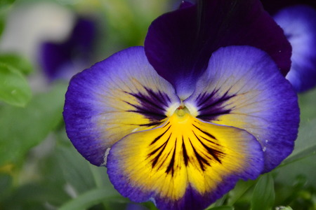 yellow and violet pansy Imagens