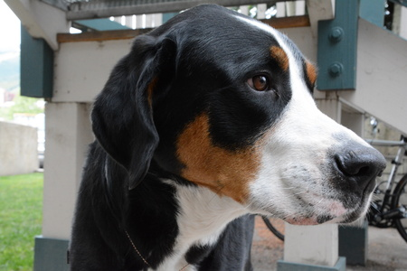 Swiss mountain dog profile Stok Fotoğraf