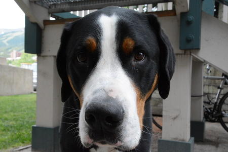 Swiss mountain dog front face