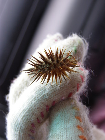Prickly burr on glove