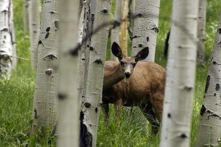 Deer in Aspen