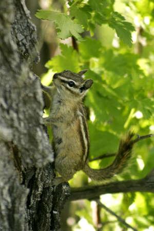 Chipmunk: Chipmunk Climbing Tree