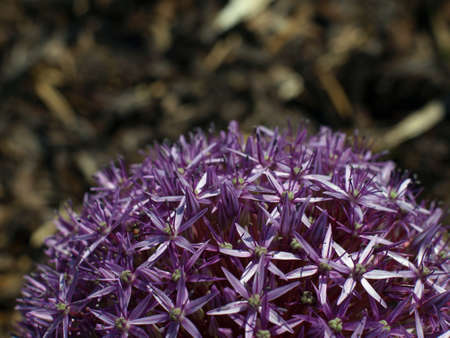 globular: Photo of part of spheric purple bloom of garlic on natural brown background