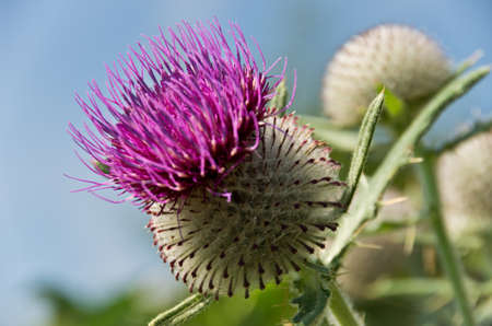 blooming violet thistle on blue sky background