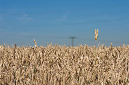 agrarian: Landscape photo of wheat ears on the wheat field