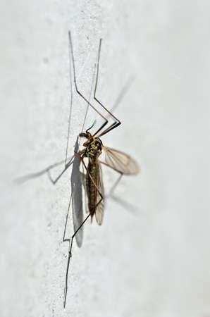 Macro photo of spotted crane fly (Nephrotoma appendiculata) focused on head photo