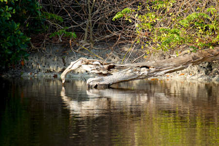 A dead log half submersed in a pool of water in the Everglades, Florida.