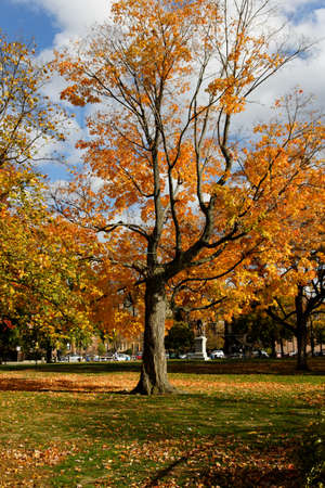 A maple tree on the Cambridge Common in Cambridge, MA, on a beautiful Fall day during Indian Summer. photo