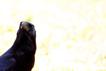 suspiciously: A black American crow eying the camera suspiciously in the Everglades, Florida.