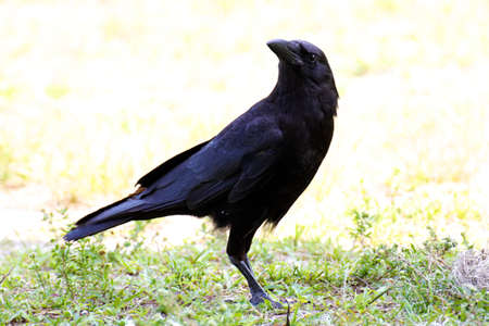A black American crow eying the camera suspiciously in the Everglades, Florida.