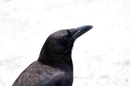 suspiciously: A black American crow eying the camera suspiciously in the Everglades, Florida.