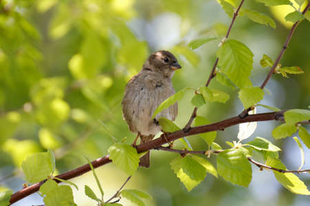 A little sparrow sitting in the sun on a branch of brich.