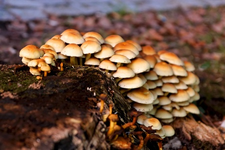 A patch of pale mushrooms growing on a stump on the side of a road in Fall.