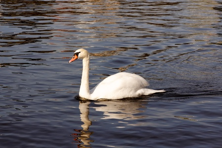 sweetwater: A white swan gliding through the dark water in a European lake.