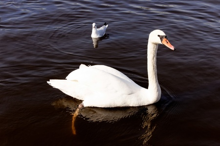 sweetwater: A white swan and a seagull bright against the dark water of a European lake.