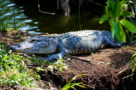 An alligator resting in the sun in the swamps of the Everglades National Park, Florida.