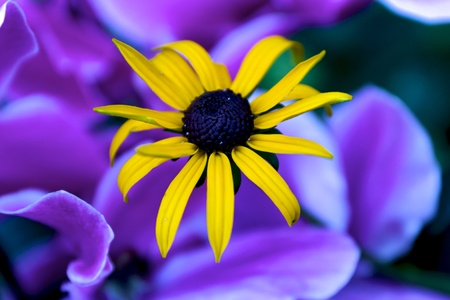 Close-up of a yellow flower blossom before a background of purple flower petals. Stock Photo