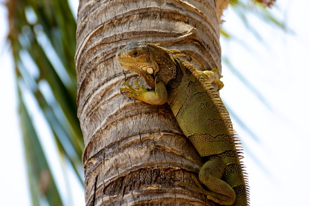 A Green Iguana watching the photographer from a palm tree trunk in the Florida Keys. These big lizards are not native to the USA but have made their home in the tropical climate of the Keys.