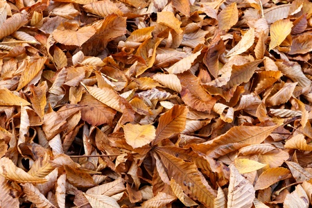 Fallen beech leaves tightly covering the ground in Fall. photo